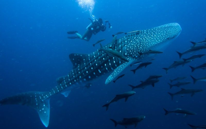 A scuba diver with a whale shark in WA coast