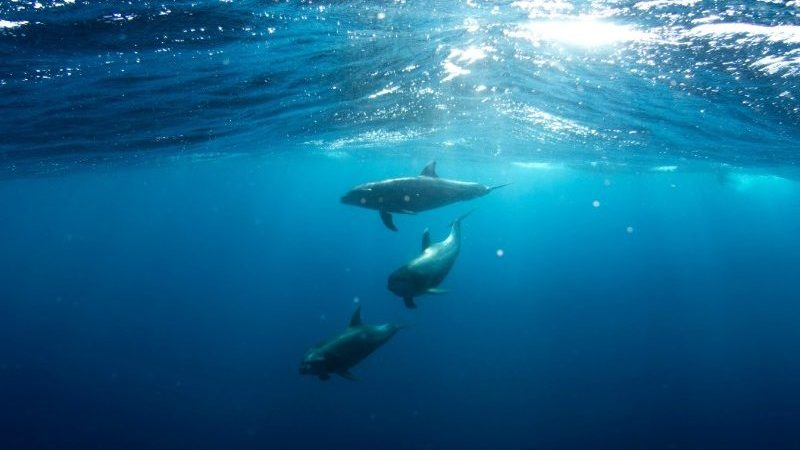 Three dolphins swimming