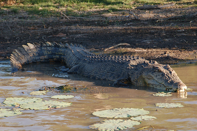 Saltwater crocodile, Mary River