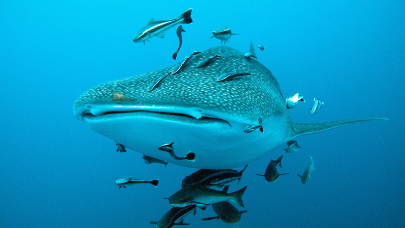Whale shark swimming with some fishes