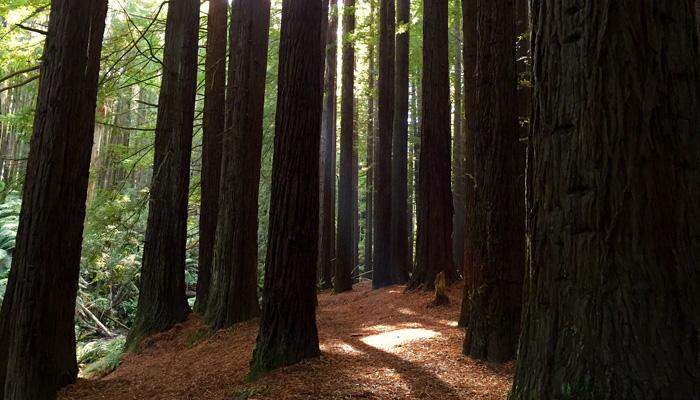 Great-Ocean-Road-Otways-Redwoods---s13n1