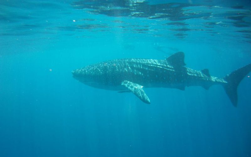 Whale shark. Photo by Lee