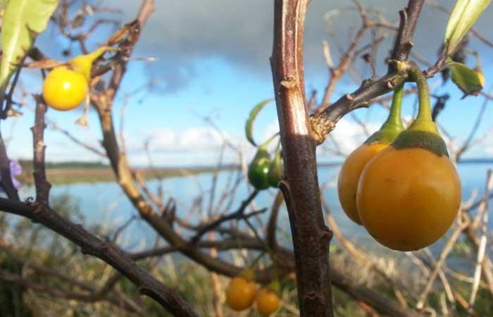 Bush-tucker-bush-tomato---Brianna-Laugher