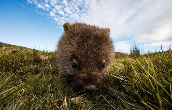 Tasmania-Cradle-Mountain-wombat---Tasmania-Tourism