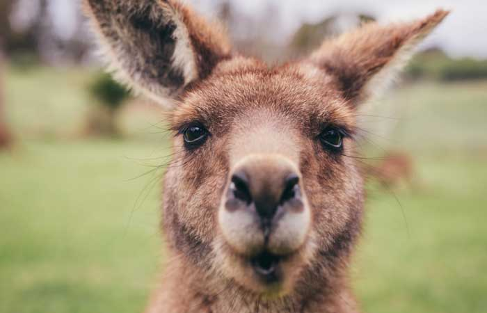 Tasmania-group-tour-kangaroo-face---Adventure-Tours