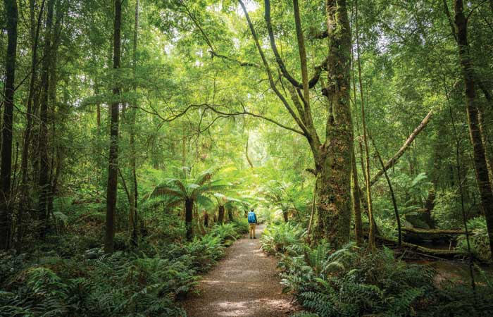 Tasmania old growth forest walk traveller