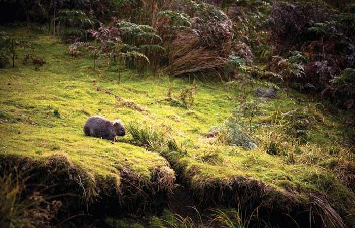 Tasmania forest wombat