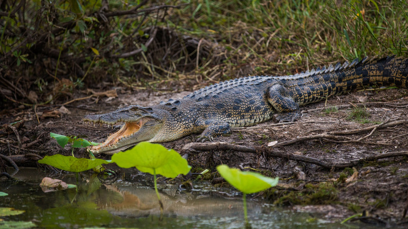 A crocodile on the banks of the river in Kakadu