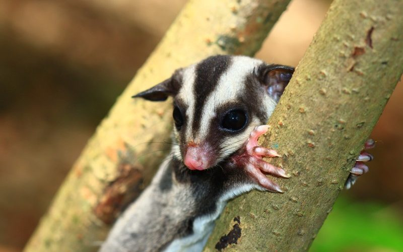 sugar glider clings to tree