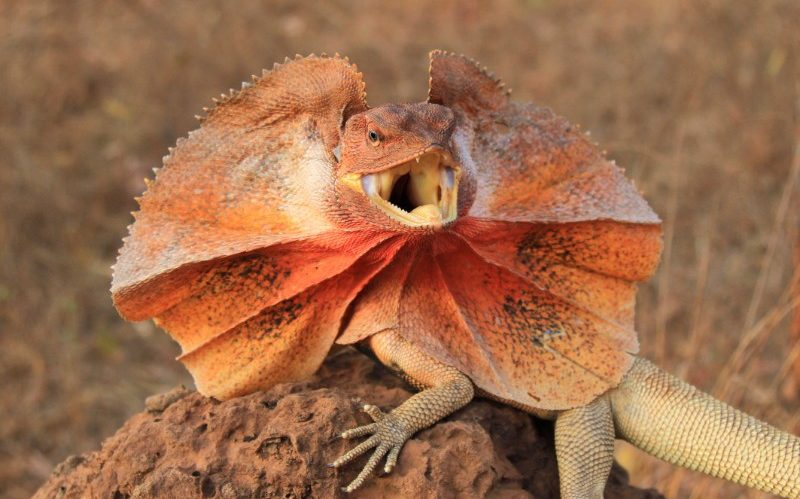 frilled neck lizard with frill extended