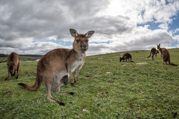 Some kangaroos on Kangaroo Island