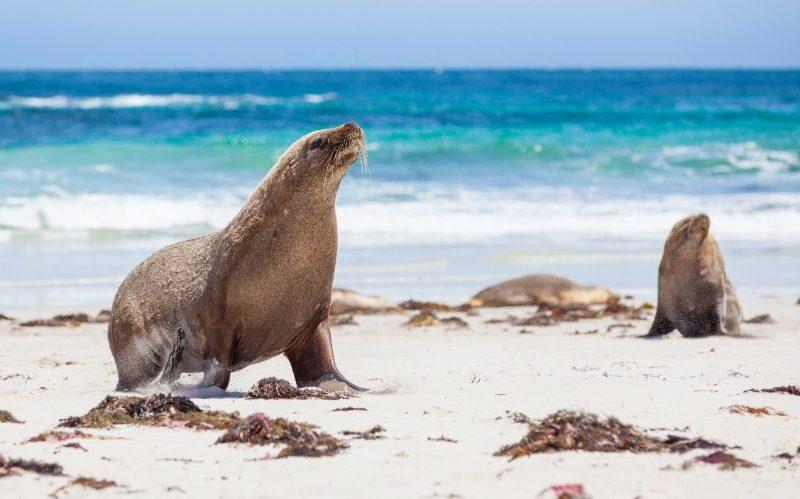 seals at Kangaroo Bay