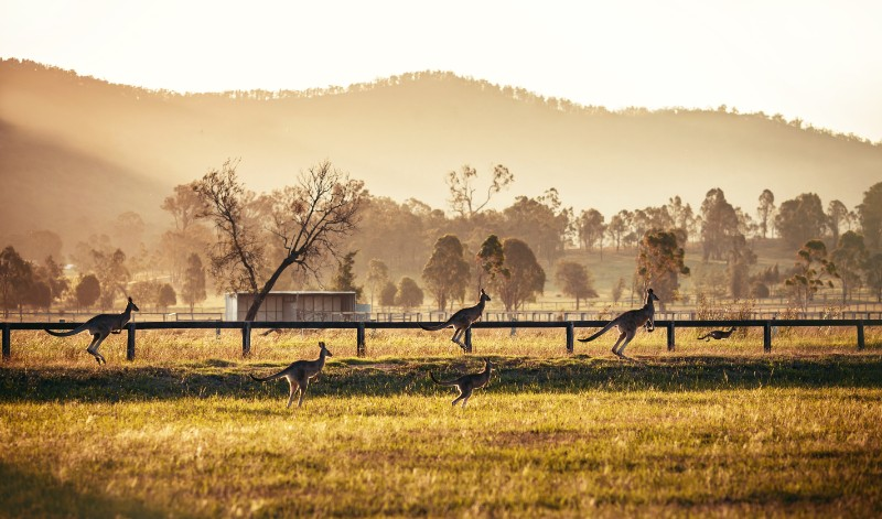 Group of australian kangaroos at Hunter Valley, Australia