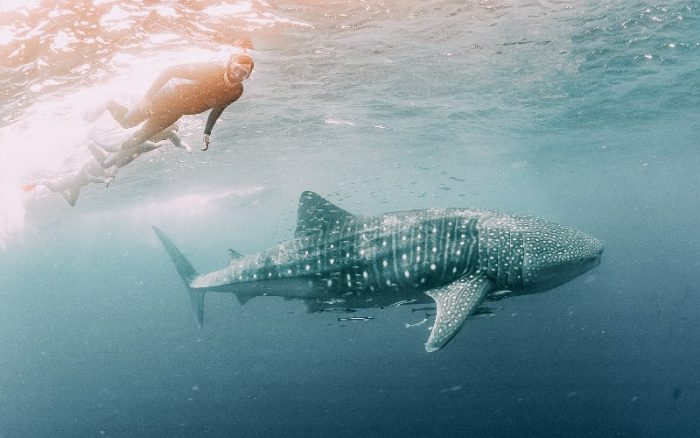 A person swimming with a whale shark in Ningaloo reef underwater