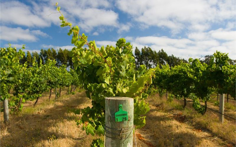 Image up close to vineyards in Margaret River.