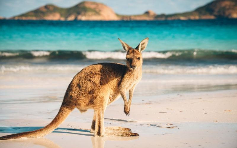 Up close photo of a kangaroo on the sand at lucky bay