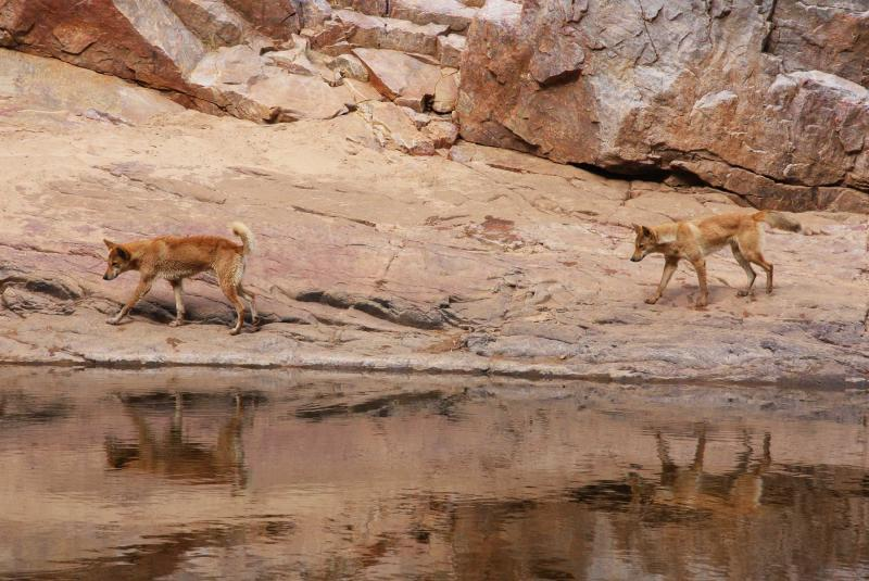 Dingos by the water