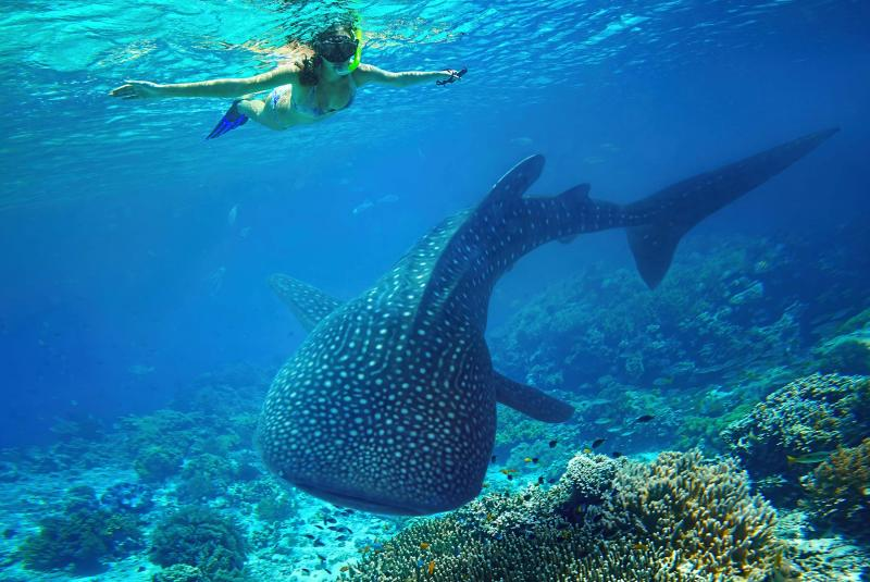 Diving with whale sharks at the Ningaloo Reef, Western Australia