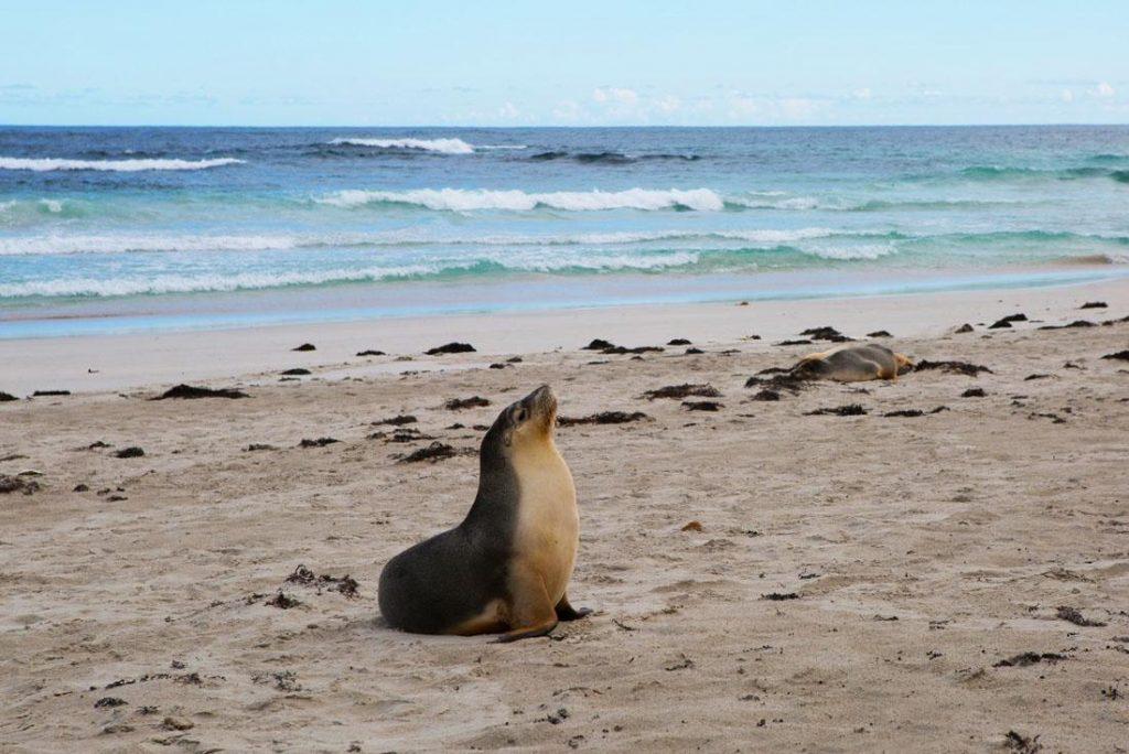 Sea lion on Kangaroo Island